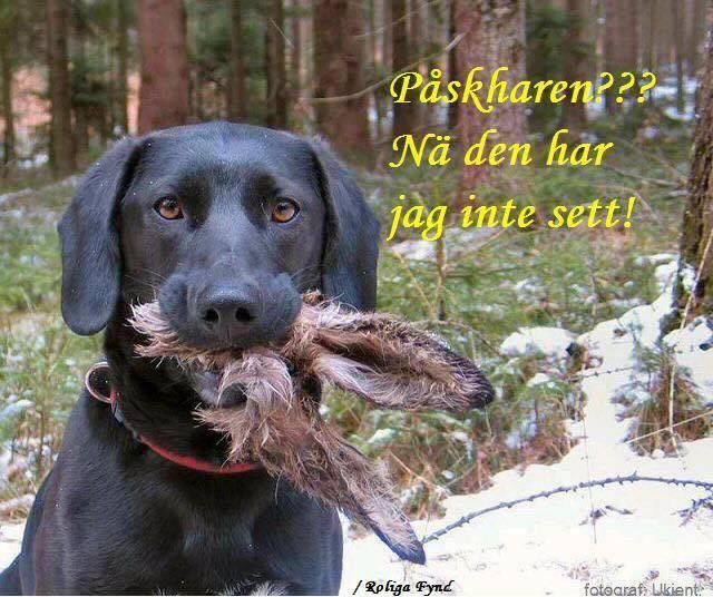 Påskhund